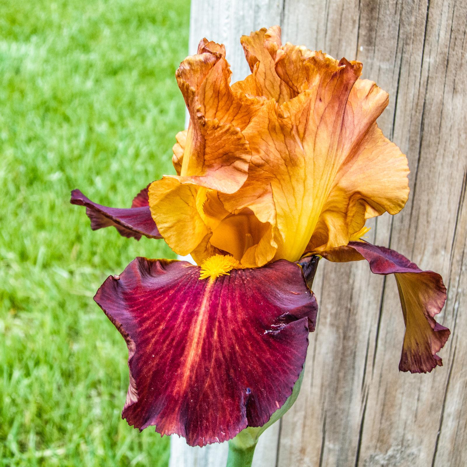 Iris Variations