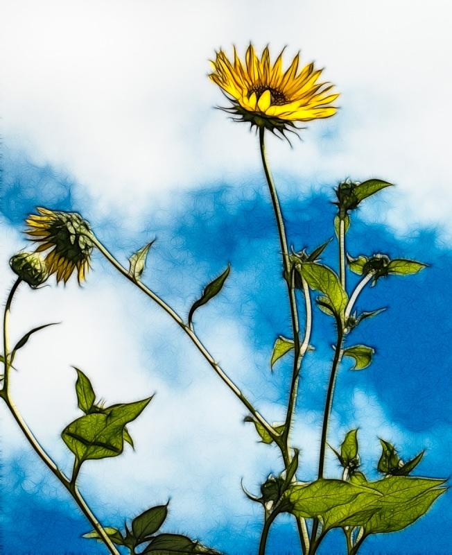Oh Sunflower