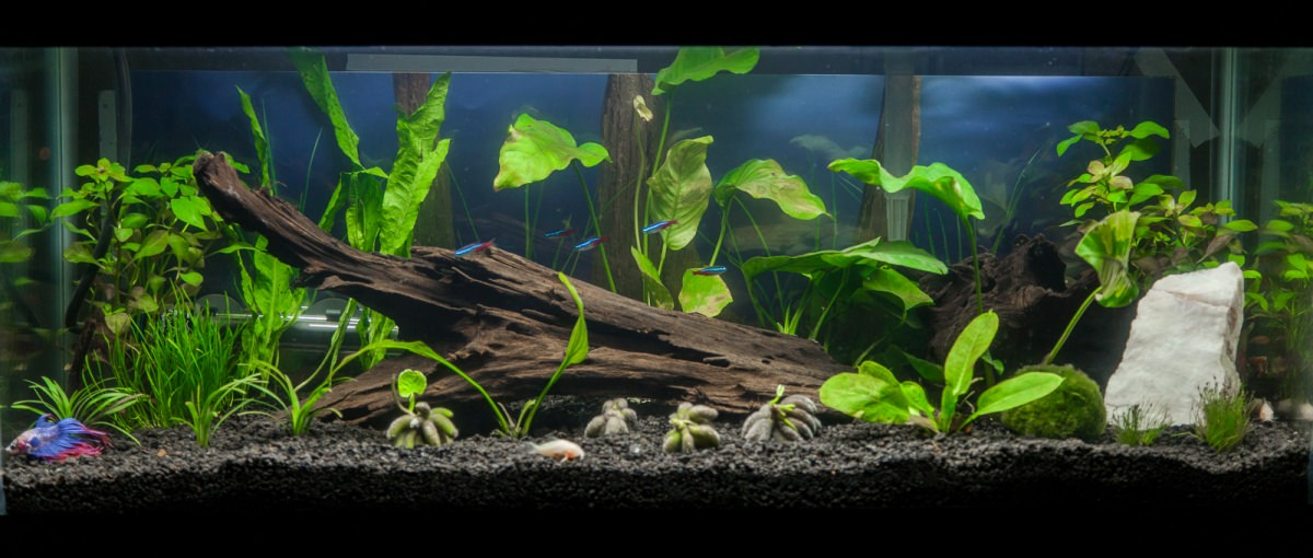 20 gallon planted tank with new driftwood