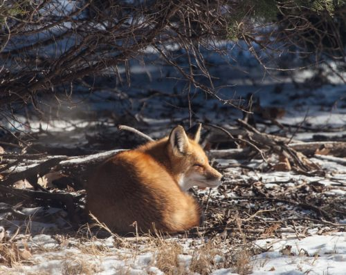 Backyard Fox