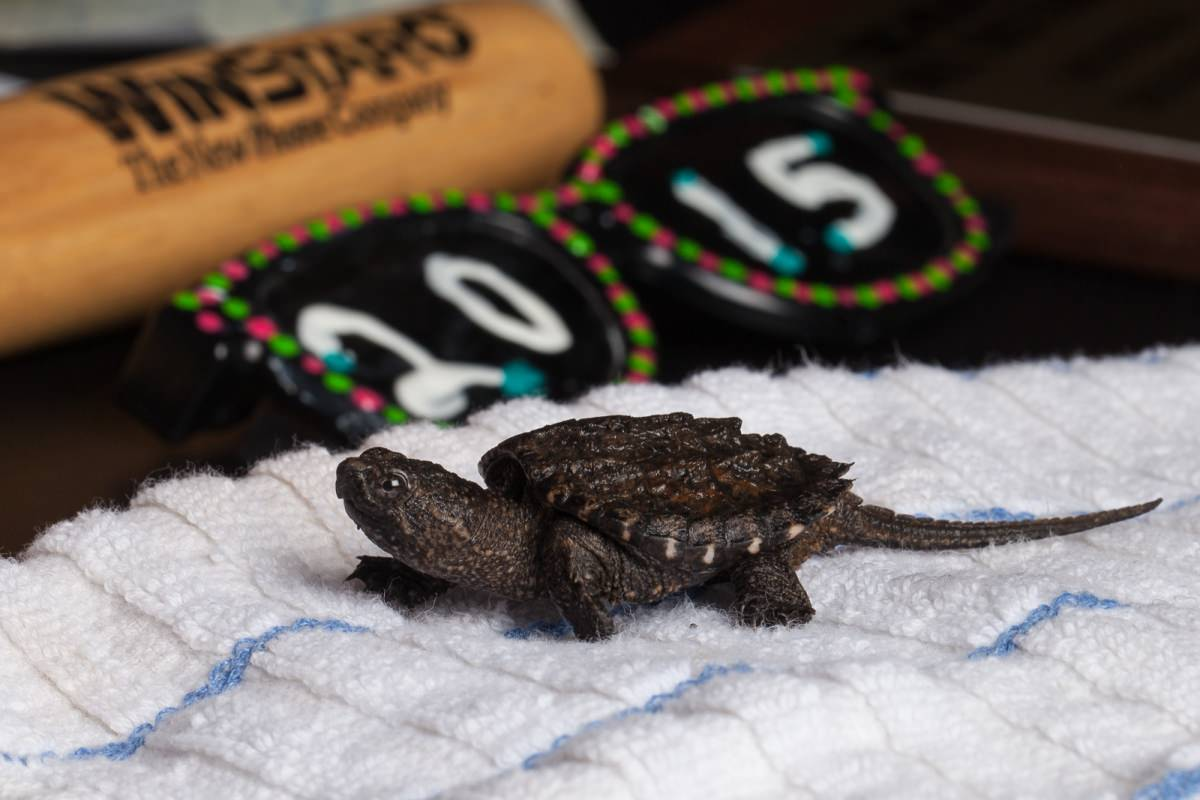 Baby Alligator Snapping Turtle All The Pages Are My Days