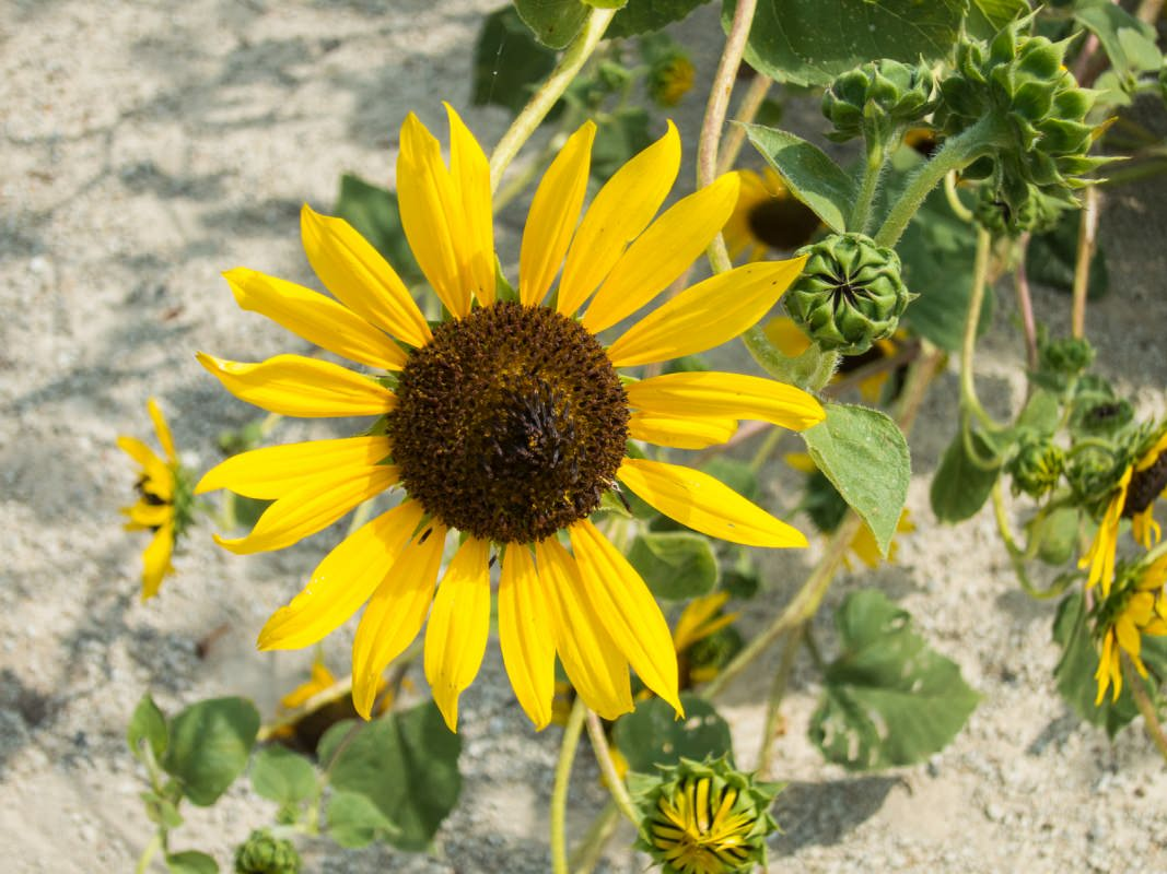 Sunflowers on the Meadowlark Trail