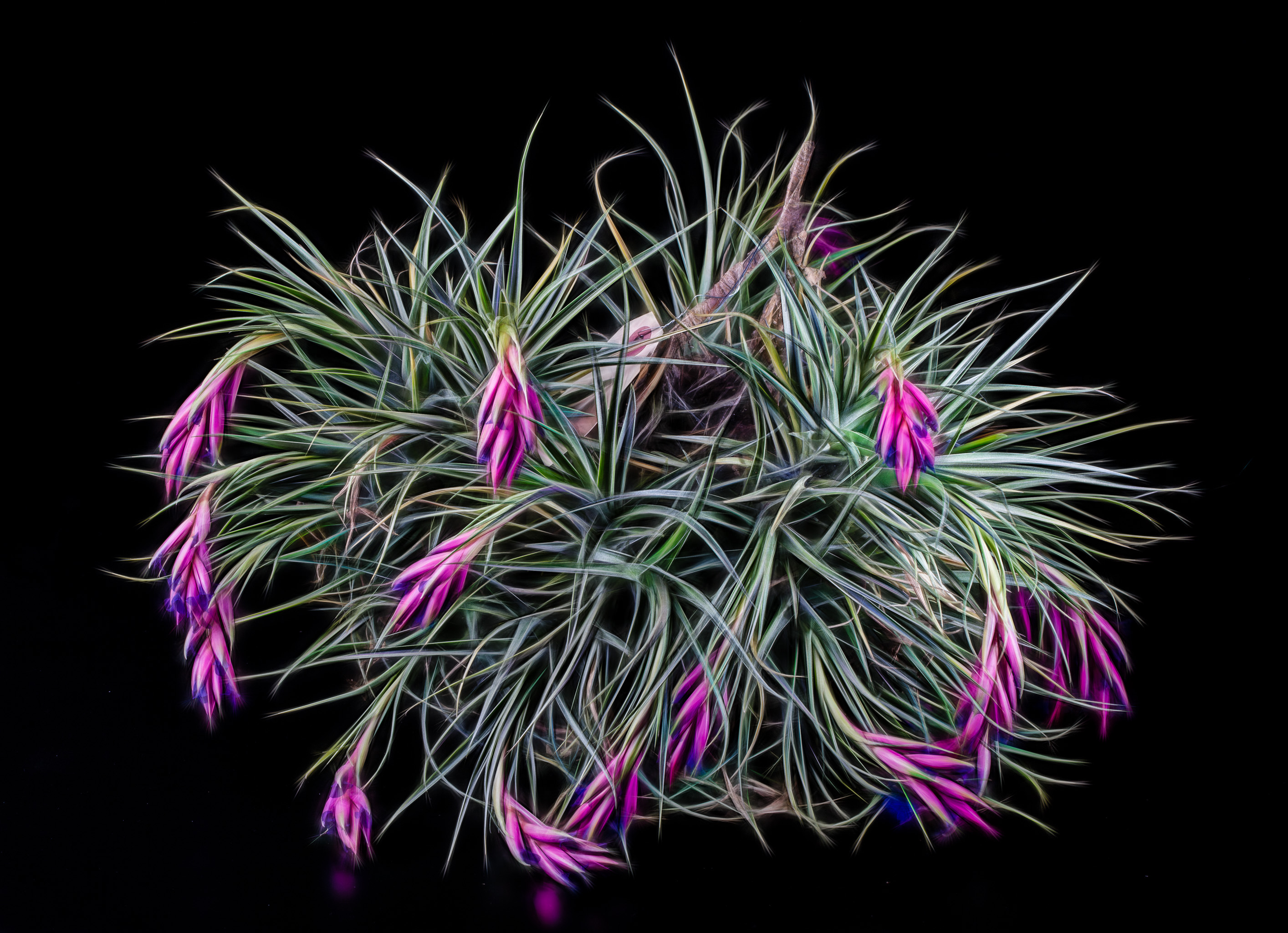 Beautiful succulent air plant