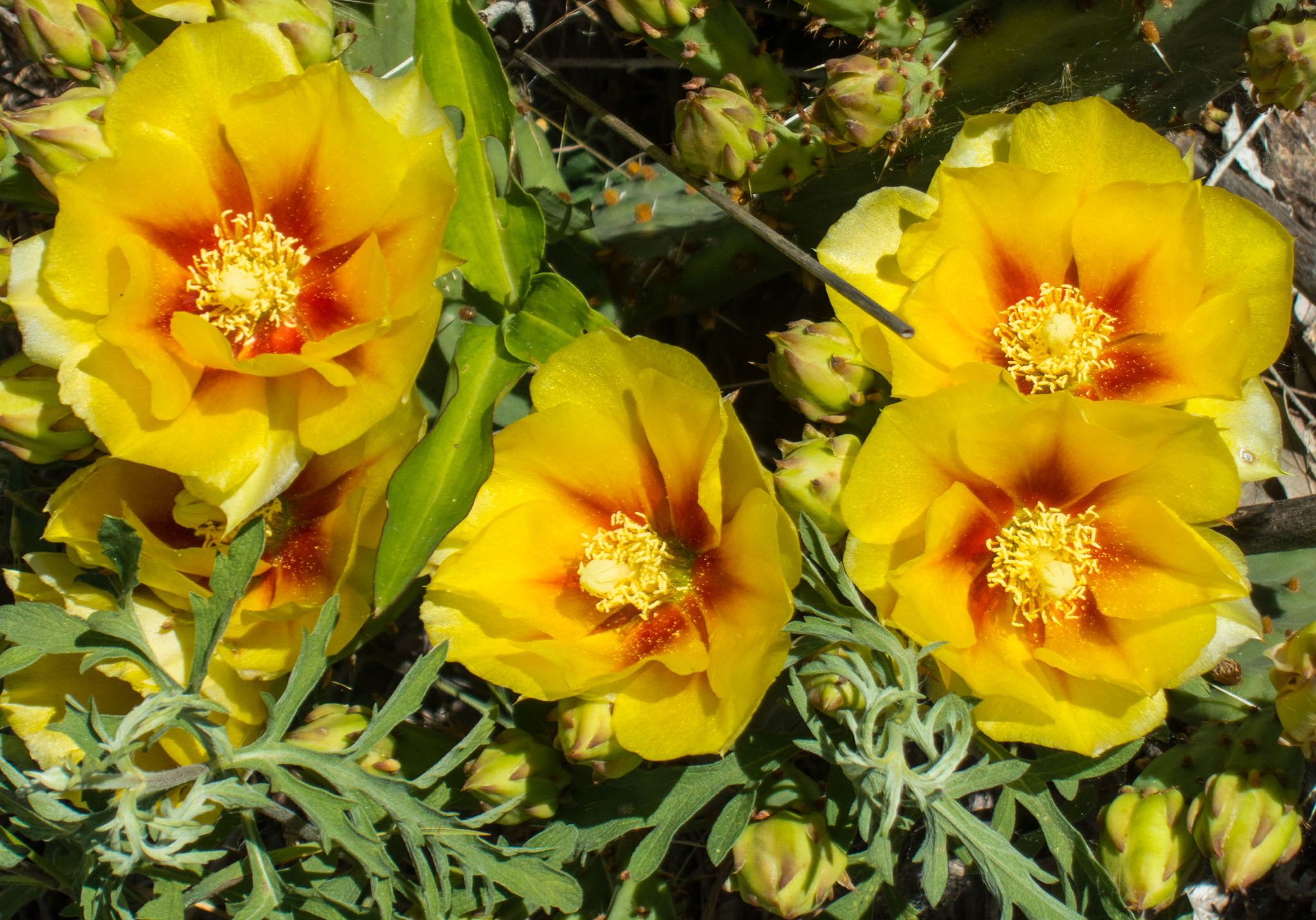 Cactus Flowers on Meadowlark Trail