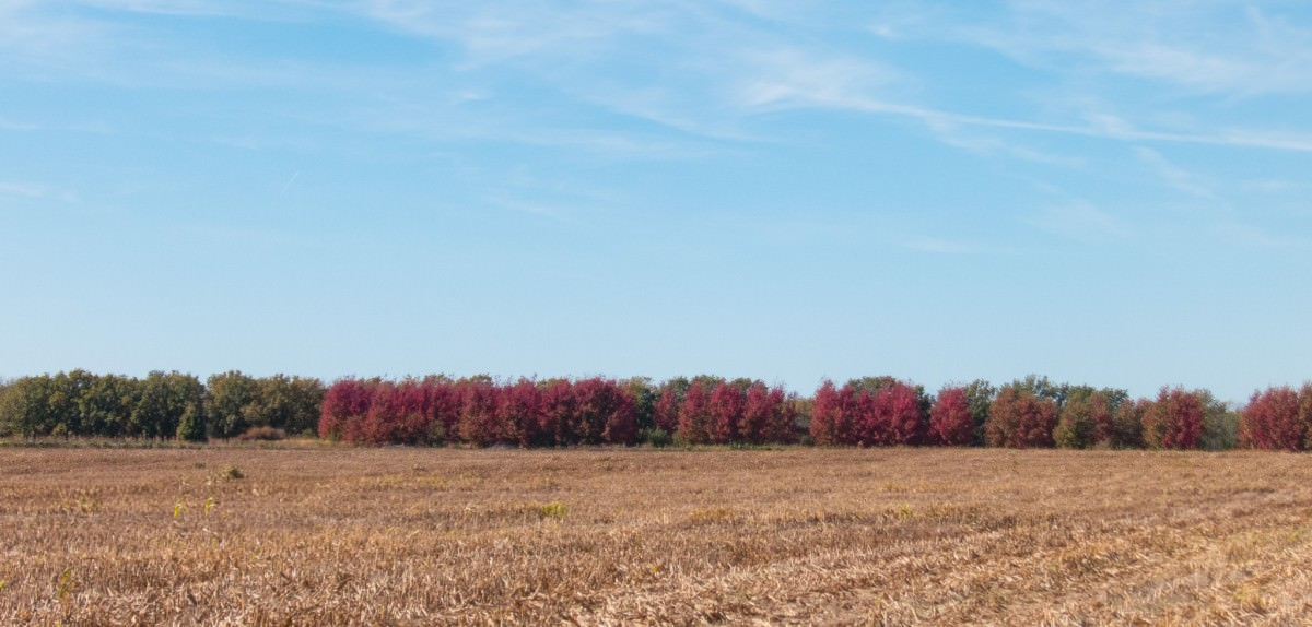 Stand of Red Trees