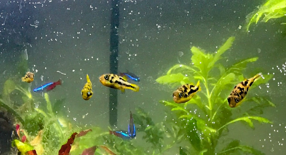 Freshwater Puffers (closeup)