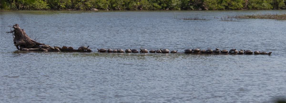 35 Turtles on a Log