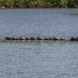 35 Turtles on a Log