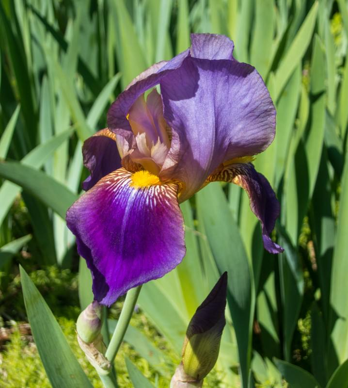 Purple Iris (red shade)