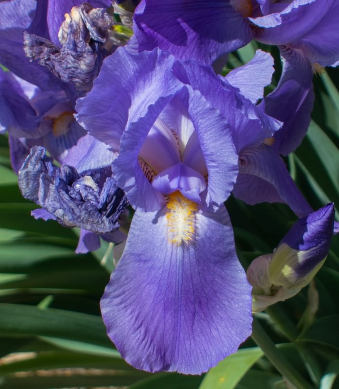 Purple Iris (blue shade)