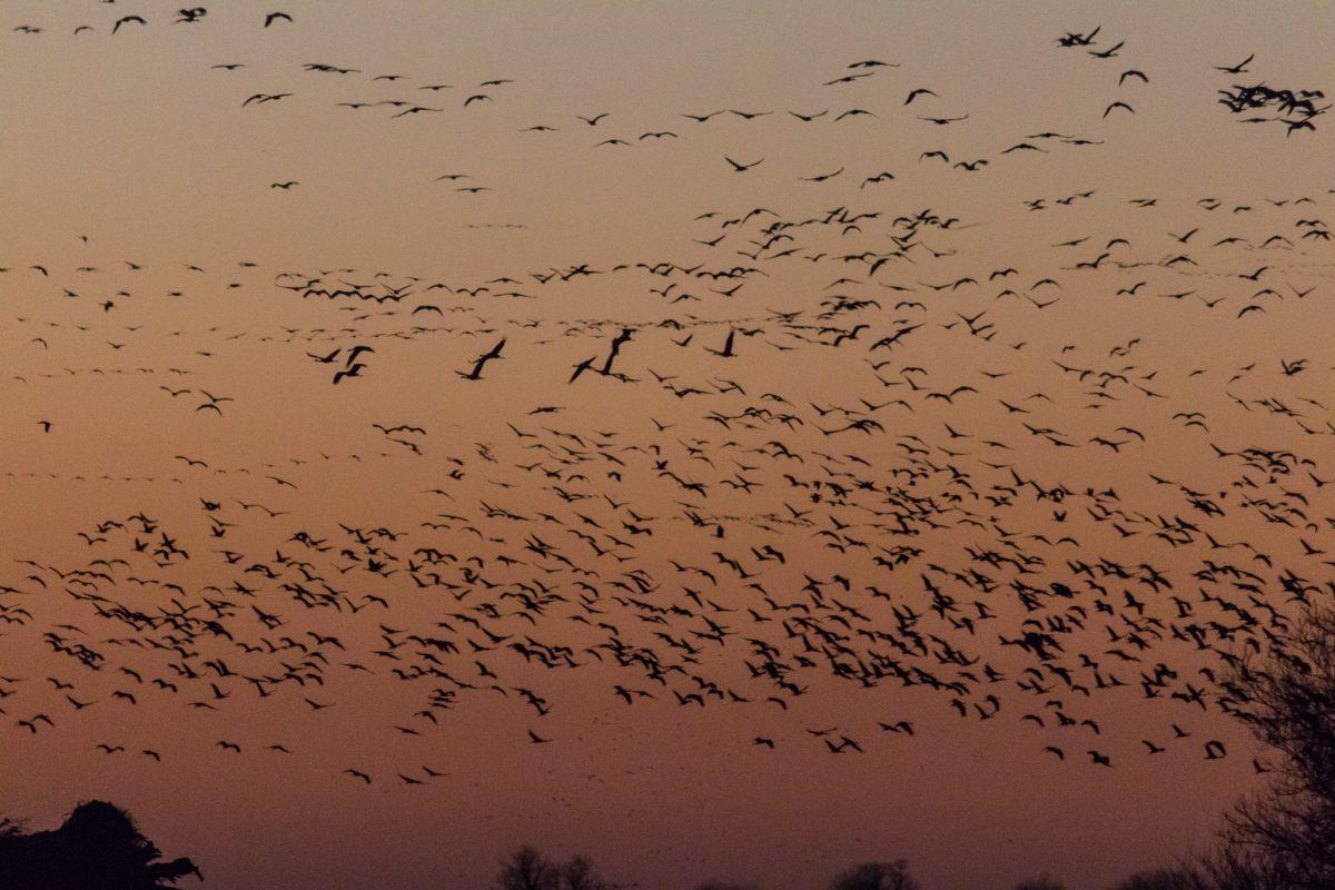 Sandhill Cranes gathering at dusk