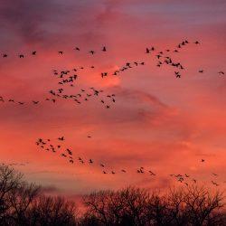 Sandhill Cranes in Kearney Nebraska