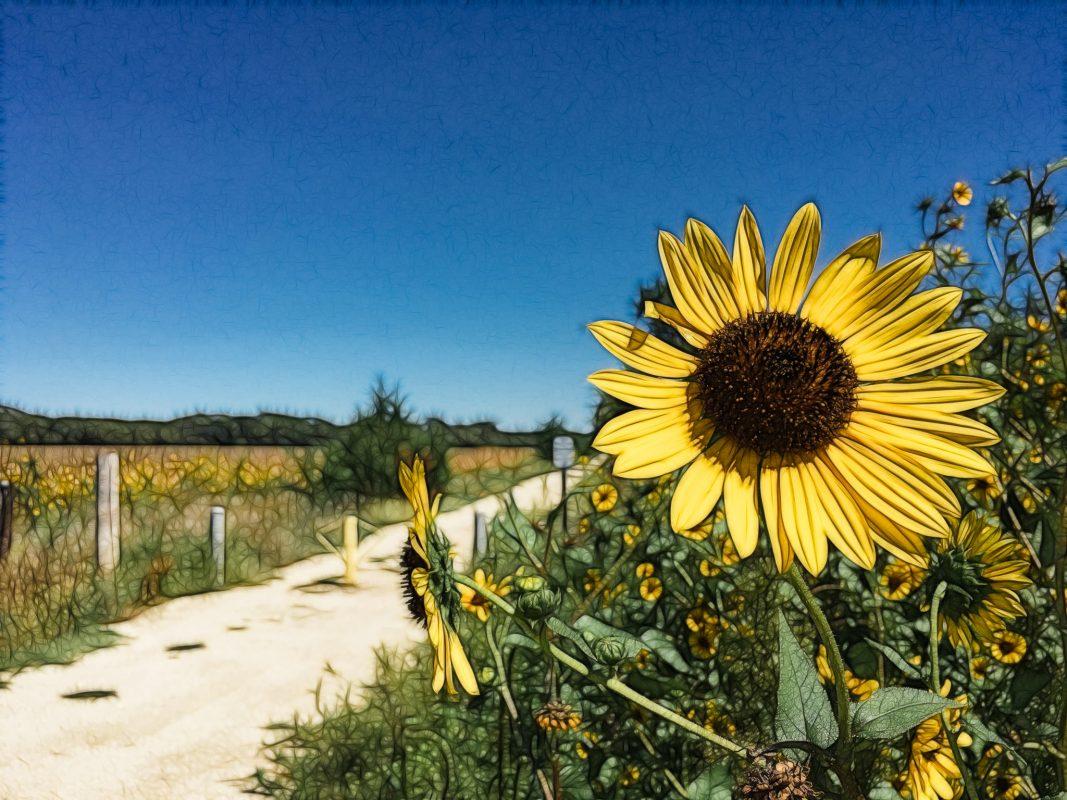 Fractalized Sunflower -- 2016