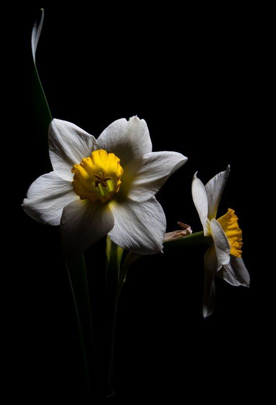 Daffodil at Night