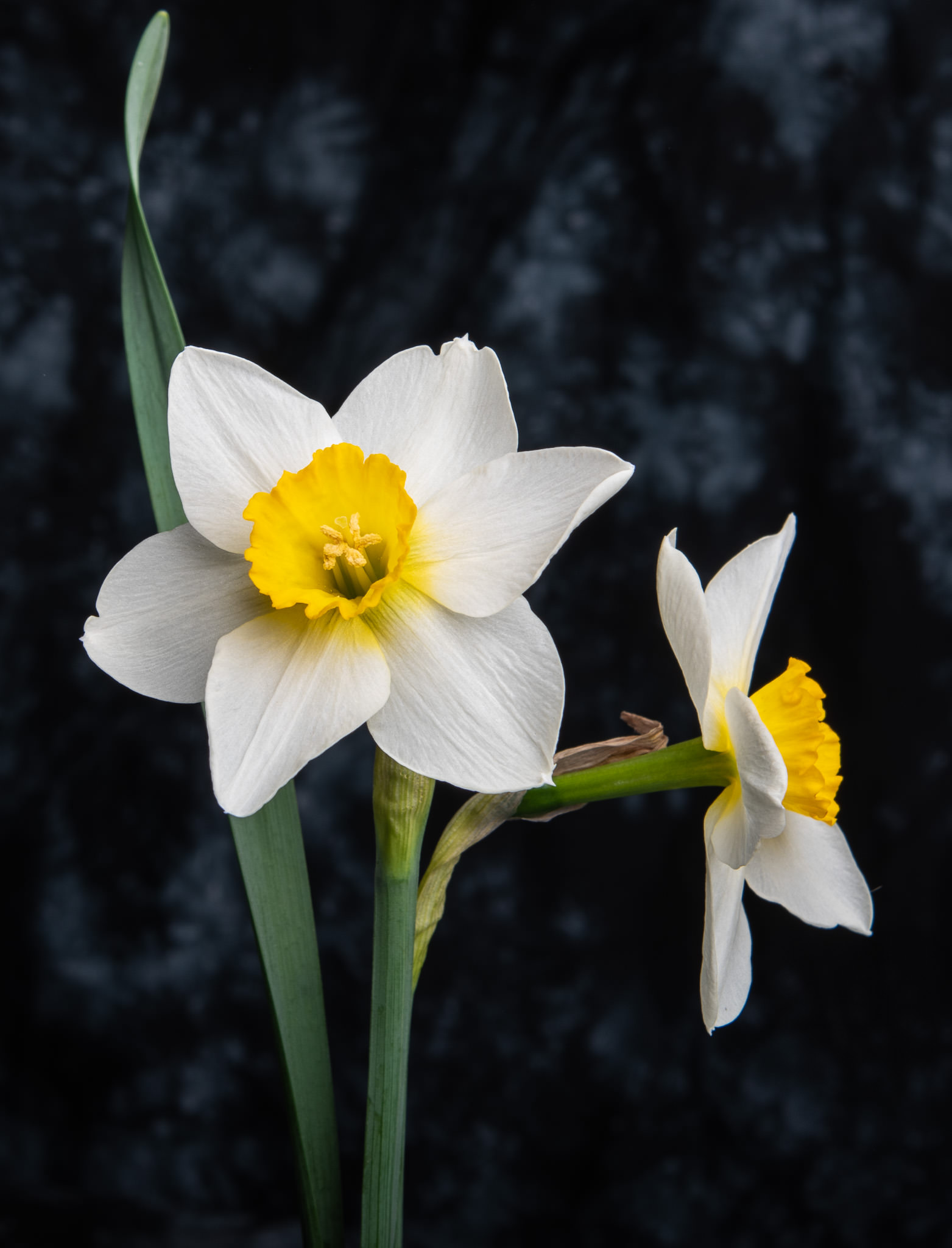 Daffodil Under Light
