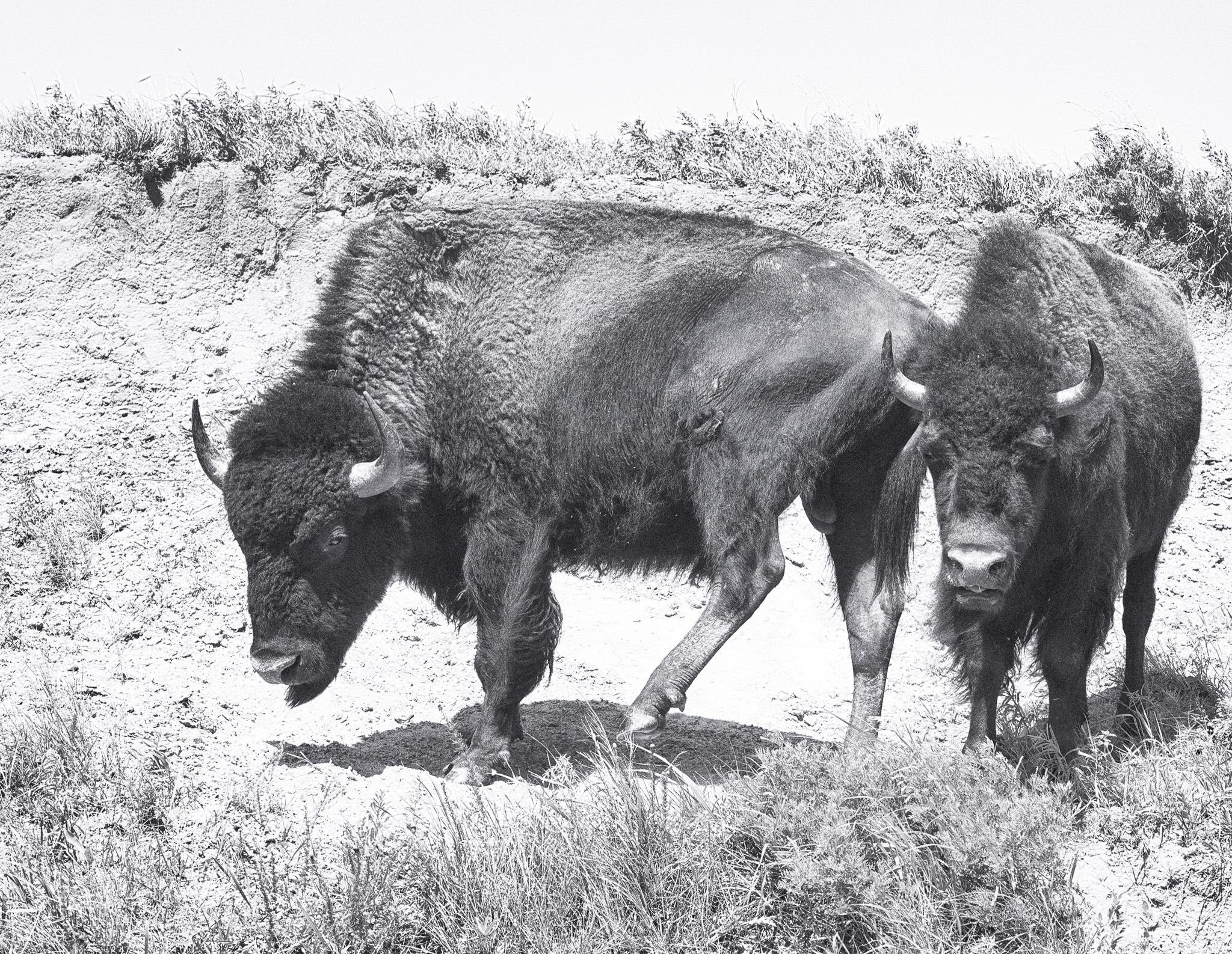 Bison at Maxwell
