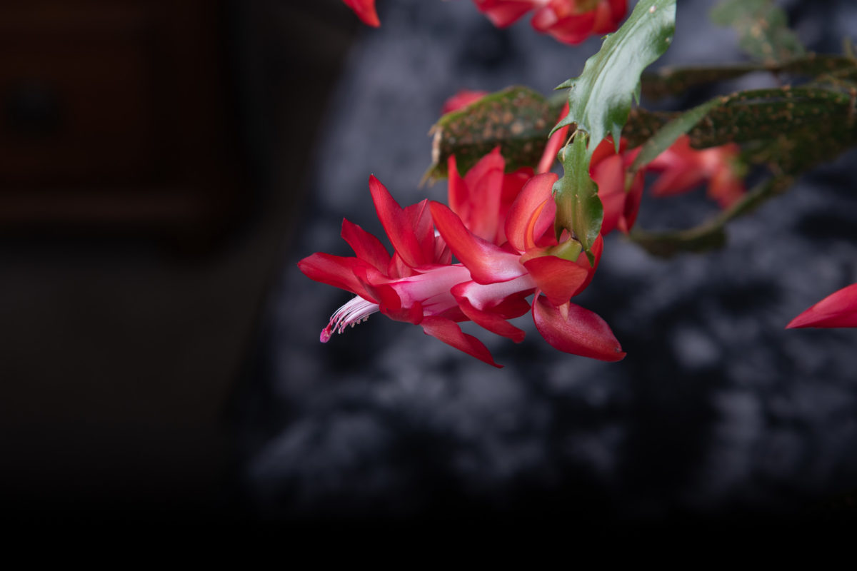 Christmas Cactus 2020