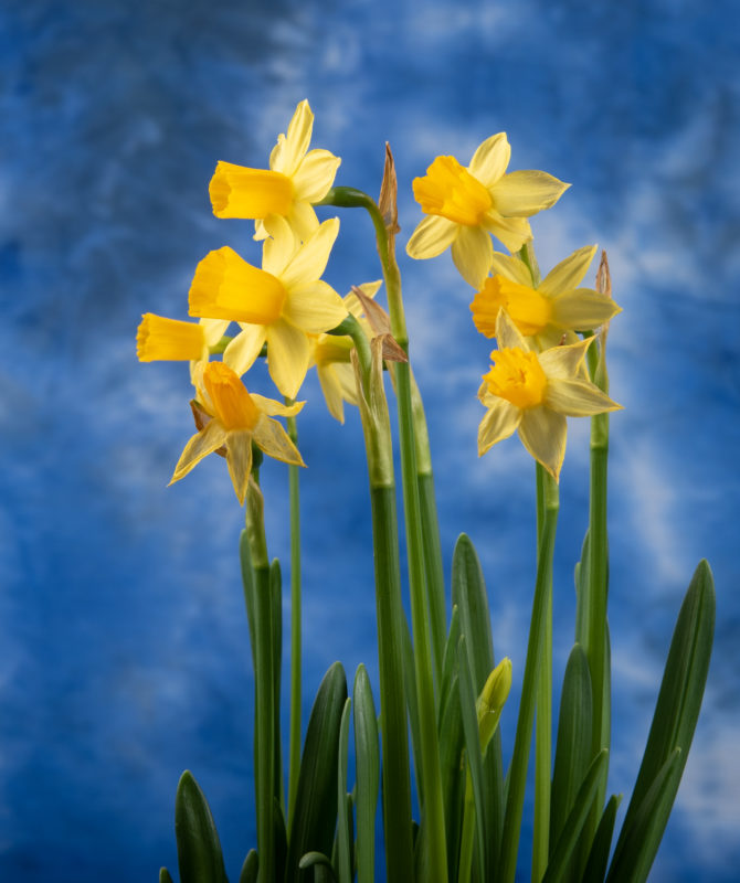 Spring Preview: Daffodils