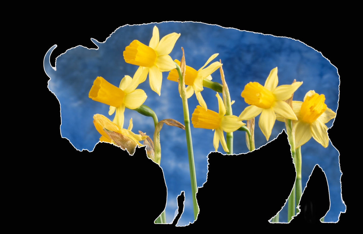 Bison Views -- Daffodils