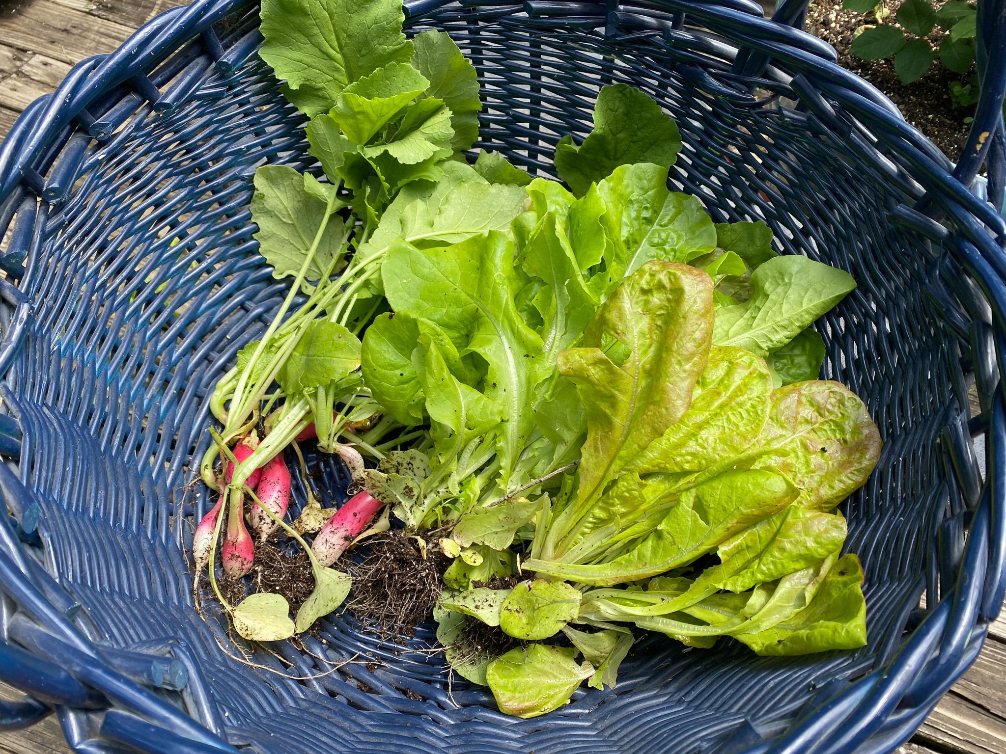 Our Garden: Radishes & Lettuce